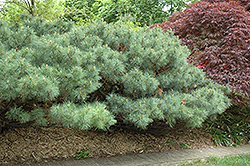 Dwarf White Pine (Pinus strobus 'Nana') at Weston Nurseries