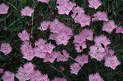 Bath's Pink Pinks (Dianthus 'Bath's Pink') at Weston Nurseries