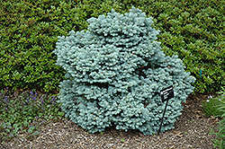 Thume Blue Spruce (Picea pungens 'Thume') at Weston Nurseries
