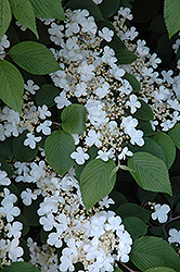 Maries Doublefile Viburnum (Viburnum plicatum 'Mariesii') at Weston Nurseries