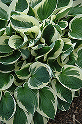 Patriot Hosta (Hosta 'Patriot') at Weston Nurseries