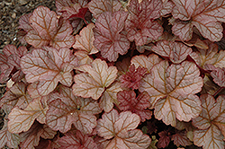 Pinot Gris Coral Bells (Heuchera 'Pinot Gris') at Weston Nurseries