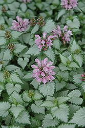 Pink Chablis® Spotted Dead Nettle (Lamium maculatum 'Checkin') at Weston Nurseries