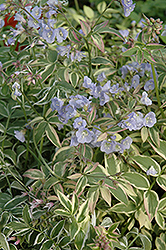 Touch Of Class Jacob's Ladder (Polemonium reptans 'Touch Of Class') at Weston Nurseries
