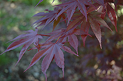 Moonfire Japanese Maple (Acer palmatum 'Moonfire') at Weston Nurseries