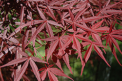 Beni Otake Japanese Maple (Acer palmatum 'Beni Otake') at Weston Nurseries