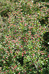 Cranberry Cotoneaster (Cotoneaster apiculatus) at Weston Nurseries