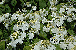 Newport Doublefile Viburnum (Viburnum plicatum 'Newzam') at Weston Nurseries