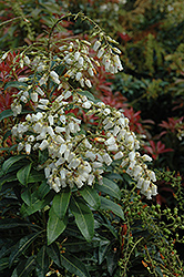 Mountain Fire Japanese Pieris (Pieris japonica 'Mountain Fire') at Weston Nurseries