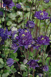 Clememtine Blue Columbine (Aquilegia vulgaris 'Clementine Blue') at Weston Nurseries