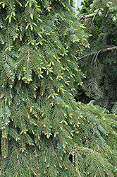 Bruns Weeping Spruce (Picea omorika 'Pendula Bruns') at Weston Nurseries