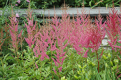 Visions in Pink Chinese Astilbe (Astilbe chinensis 'Visions in Pink') at Weston Nurseries