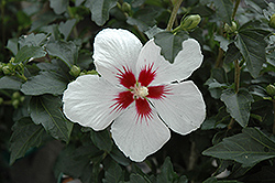 Lil' Kim® Rose of Sharon (Hibiscus syriacus 'Antong Two') at Weston Nurseries