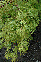 Seiryu Japanese Maple (Acer palmatum 'Seiryu') at Weston Nurseries