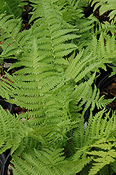 The King Ostrich Fern (Matteuccia 'The King') at Weston Nurseries