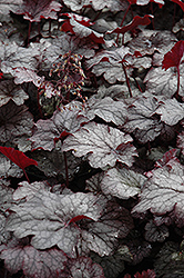 Amethyst Mist Coral Bells (Heuchera 'Amethyst Mist') at Weston Nurseries