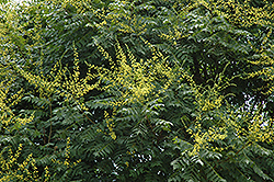 Golden Rain Tree (Koelreuteria paniculata) at Weston Nurseries