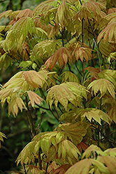 Moonrise Full Moon Maple (Acer shirasawanum 'Moonrise') at Weston Nurseries