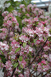 Coralburst Flowering Crab (Malus 'Coralburst') at Weston Nurseries