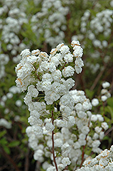 Bridalwreath Spirea (Spiraea prunifolia) at Weston Nurseries