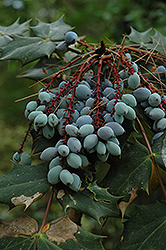 Oregon Grape (Mahonia aquifolium) at Weston Nurseries