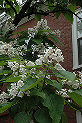 Northern Catalpa (Catalpa speciosa) at Weston Nurseries