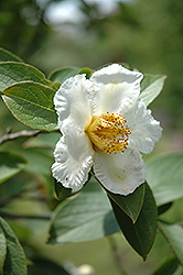 Japanese Stewartia (Stewartia pseudocamellia) at Weston Nurseries