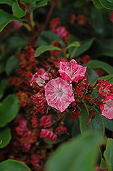 Raspberry Glow Mountain Laurel (Kalmia latifolia 'Raspberry Glow') at Weston Nurseries