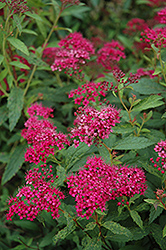 Neon Flash Spirea (Spiraea japonica 'Neon Flash') at Weston Nurseries