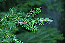 Balsam Fir (Abies balsamea) at Weston Nurseries