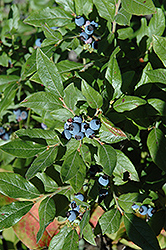 Lowbush Blueberry (Vaccinium angustifolium) at Weston Nurseries