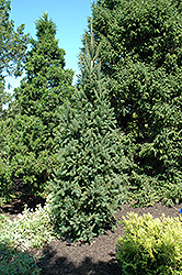 Columnar Norway Spruce (Picea abies 'Cupressina') at Weston Nurseries