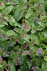 Excalibur Lungwort (Pulmonaria 'Excalibur') at Weston Nurseries