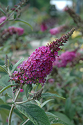 Miss Ruby Butterfly Bush (Buddleia davidii 'Miss Ruby') at Weston Nurseries