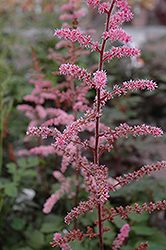 Color Flash Astilbe (Astilbe x arendsii 'Color Flash') at Weston Nurseries