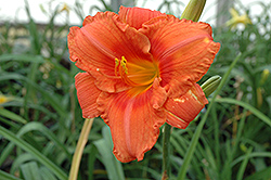 South Seas Daylily (Hemerocallis 'South Seas') at Weston Nurseries