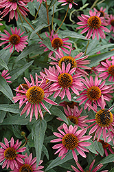 Pica Bella Coneflower (Echinacea purpurea 'Pica Bella') at Weston Nurseries