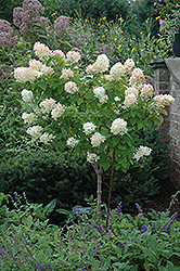 Limelight Hydrangea (tree form) (Hydrangea paniculata 'Limelight (tree form)') at Weston Nurseries