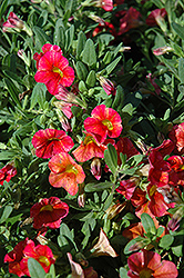 Superbells® Tequila Sunrise Calibrachoa (Calibrachoa 'Superbells Tequila Sunrise') at Weston Nurseries