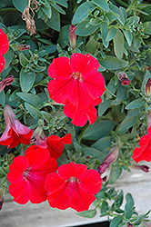 Surfinia® Red Petunia (Petunia 'Surfinia Red') at Weston Nurseries