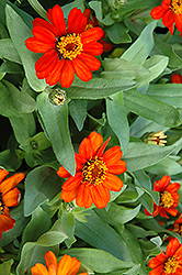 Profusion Fire Zinnia (Zinnia 'Profusion Fire') at Weston Nurseries
