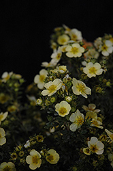 Primrose Beauty Potentilla (Potentilla fruticosa 'Primrose Beauty') at Weston Nurseries