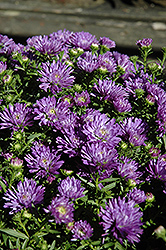 Blue Henry Aster (Aster 'Blue Henry') at Weston Nurseries