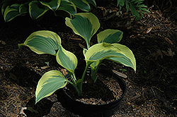 Ivory Coast Hosta (Hosta 'Ivory Coast') at Weston Nurseries