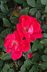 Red Knock Out® Rose (Rosa 'Red Knock Out') at Weston Nurseries