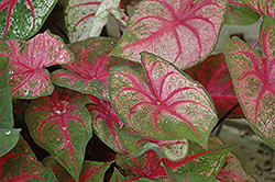 Fannie Munson Caladium (Caladium 'Fannie Munson') at Weston Nurseries