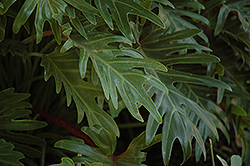 Xanadu Philodendron (Philodendron 'Winterbourn') at Weston Nurseries
