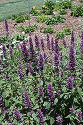 Blue Boa® Hyssop (Agastache 'Blue Boa') at Weston Nurseries