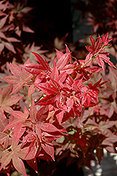 Ruby Stars Japanese Maple (Acer palmatum 'Ruby Stars') at Weston Nurseries