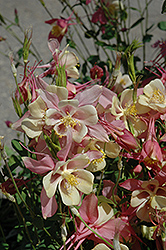 Swan Pink and Yellow Columbine (Aquilegia 'Swan Pink and Yellow') at Weston Nurseries